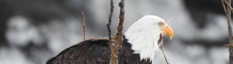 Bald eagle 2 – Kim Trask